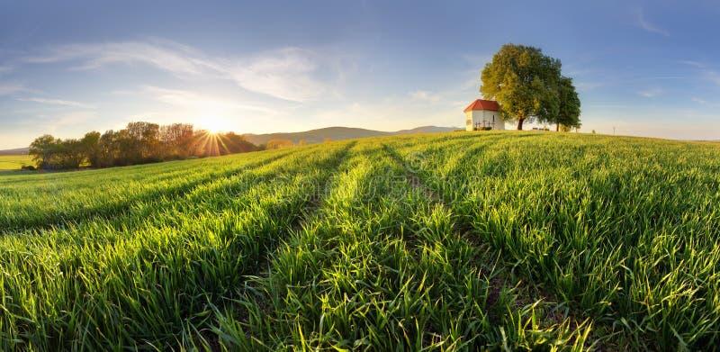 Зеленые поля молодой пшеницы на весне стоковая фотография rf