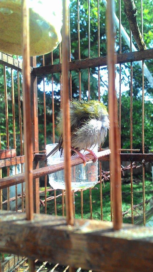 зеленые птицы греются в бамбуковой клетке стоковая фотография rf