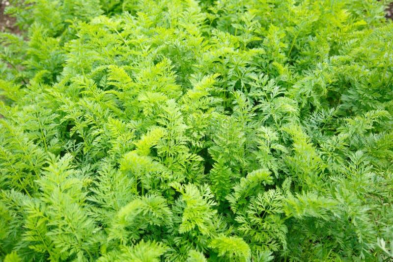 Зеленые растущие верхние части моркови стоковое фото rf