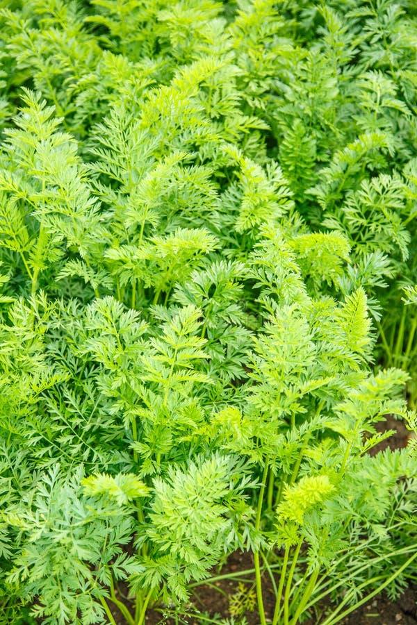 Зеленые растущие верхние части моркови стоковые изображения rf