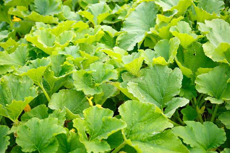 Зеленые растущие верхние части сердцевины стоковое фото rf