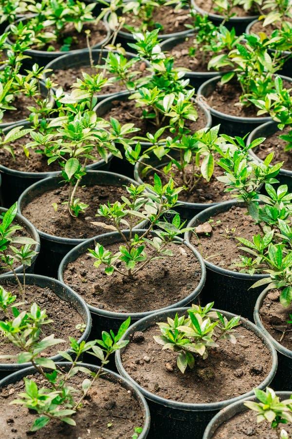 Зеленые ростки завода с лист, листьями растя от почвы в баках в парнике или оранжереей Весна, концепция новой стоковое фото rf