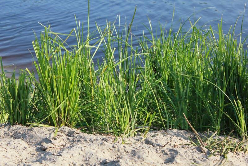 Зеленые тростники близко к озеру 18263 стоковые изображения rf