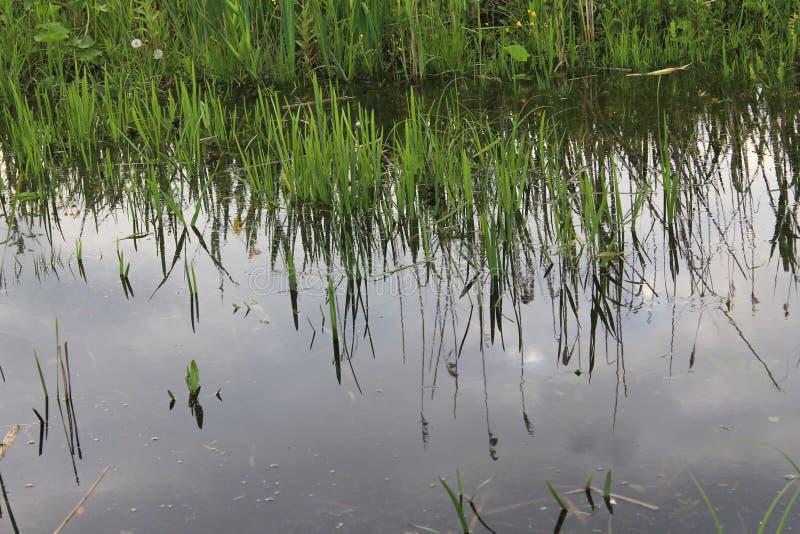 Зеленые тростники в болоте стоковое фото rf