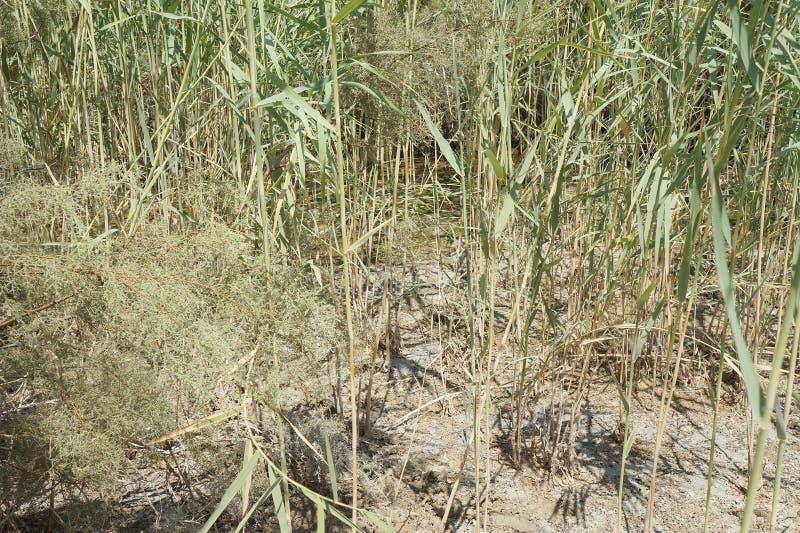 Зеленые тростники в болоте стоковое изображение