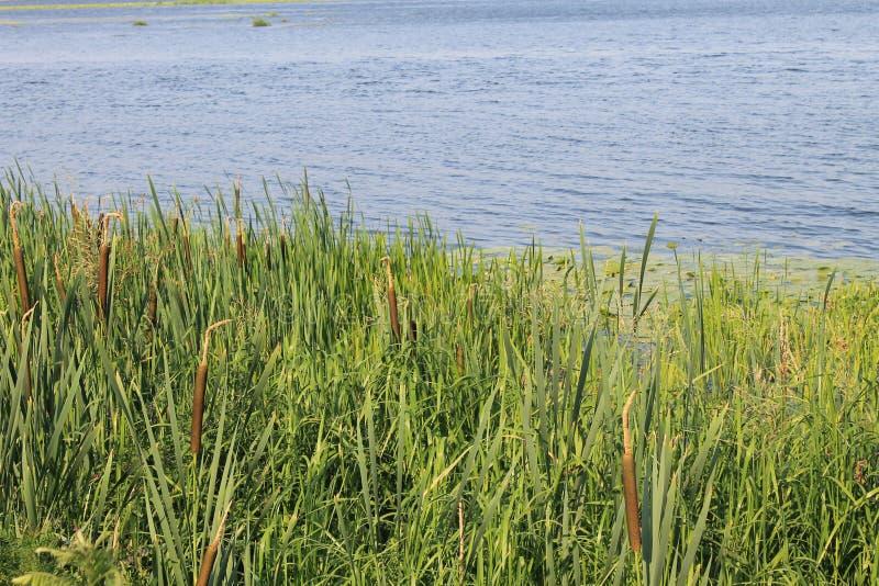 Зеленые тростники в реке стоковые фотографии rf