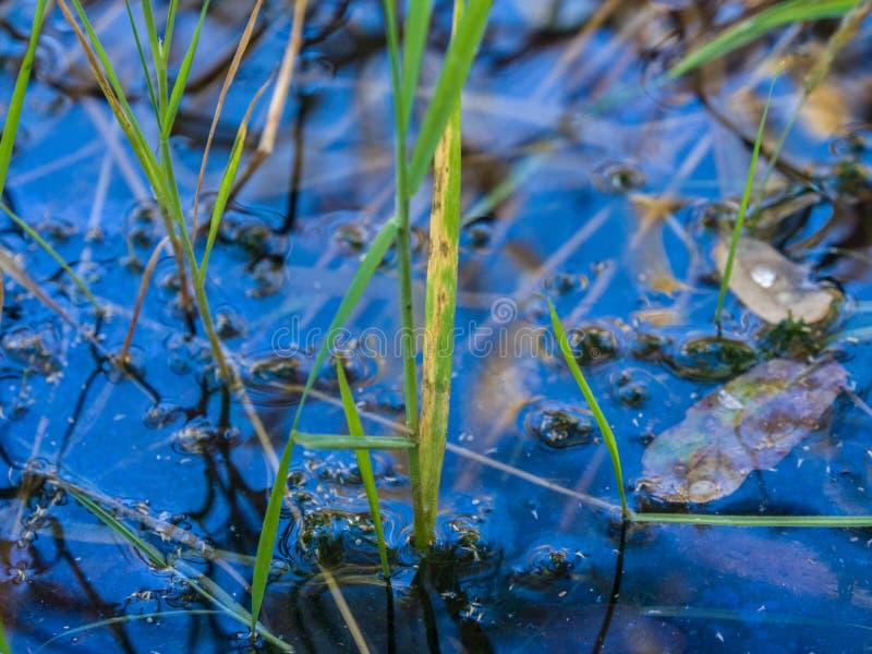Зеленые тростники и отражение в воде стоковая фотография
