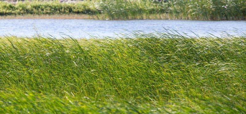 Зеленые тростники на озере Outdoors стоковое изображение rf