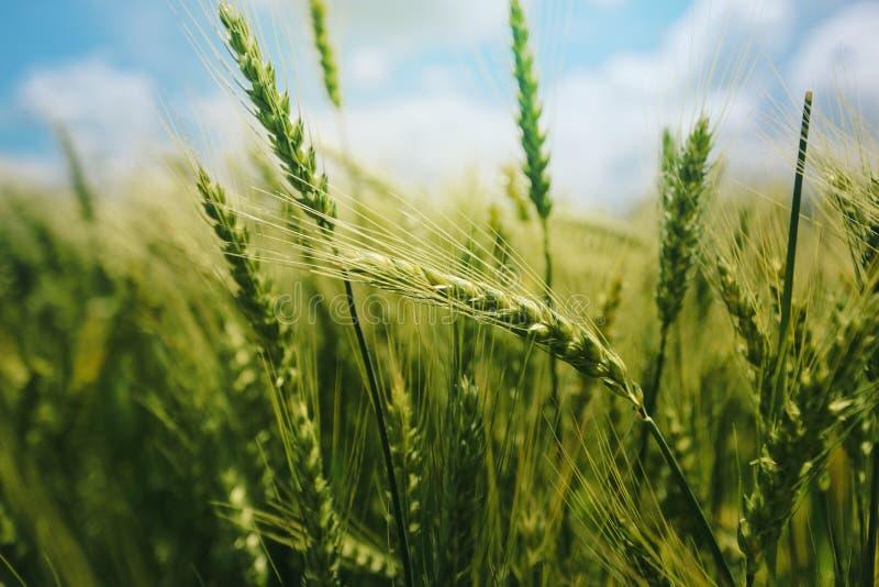 Зеленые уши пшеницы в поле стоковые фотографии rf