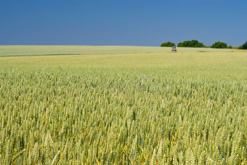 Зеленые уши пшеницы, предпосылки земледелия стоковое изображение