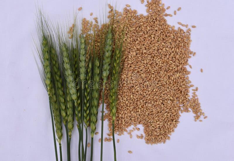 Зеленые уши пшеницы с зернами пшеницы, концепцией роста стоковая фотография
