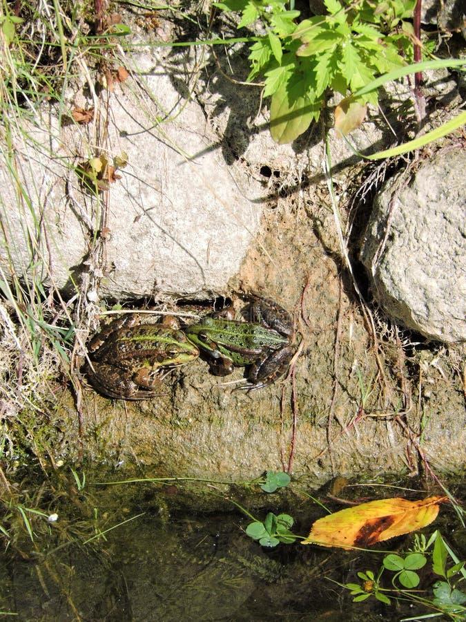 Зеленые лягушки стоковое изображение