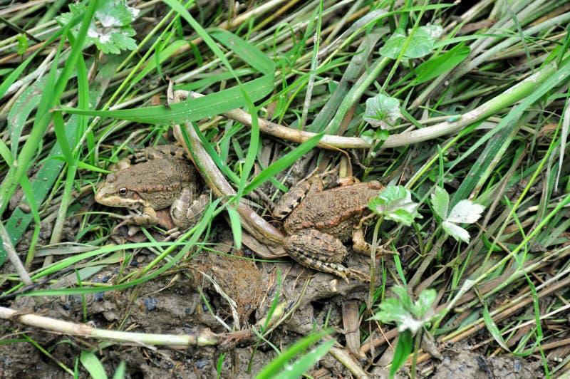 Зеленые лягушки стоковое фото rf