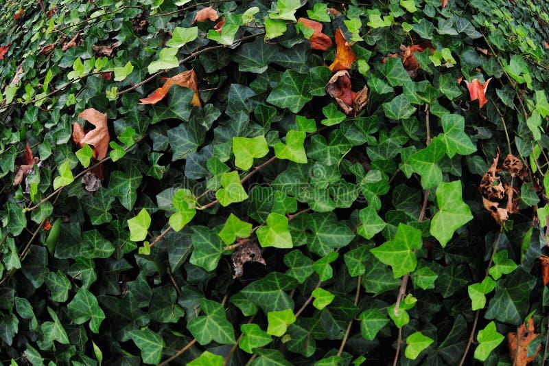 Зеленый английский плющ стоковые фотографии rf