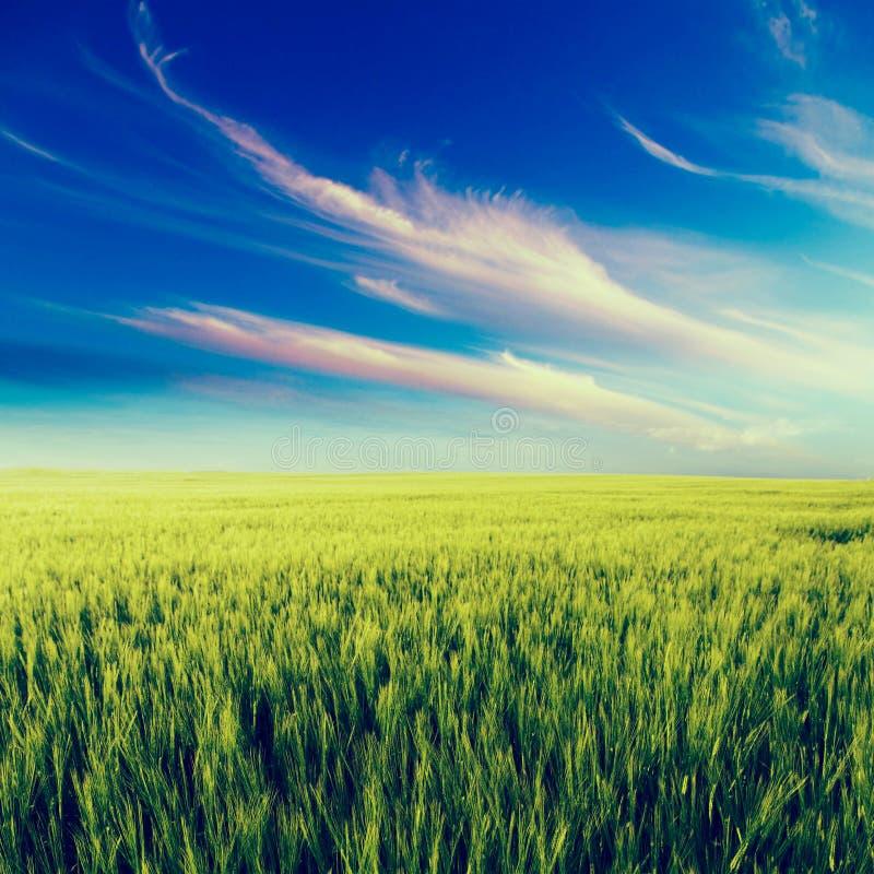 Зеленый ландшафт поля, аграрное поле, ячмень стоковые изображения