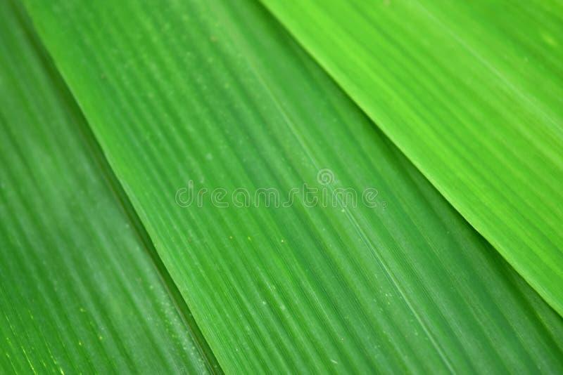 Зеленый бамбук лист предпосылка конспекта природы стоковое изображение rf