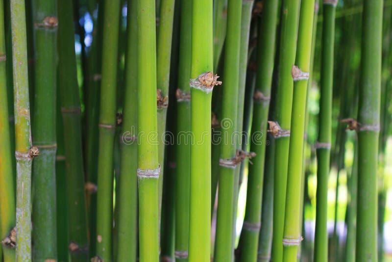 Зеленый бамбук стоковая фотография rf