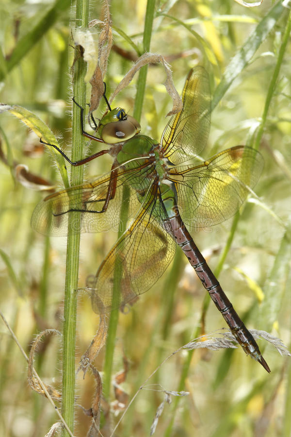 Зеленый более Darner Dragonfly пряча в вегетации стоковое изображение rf