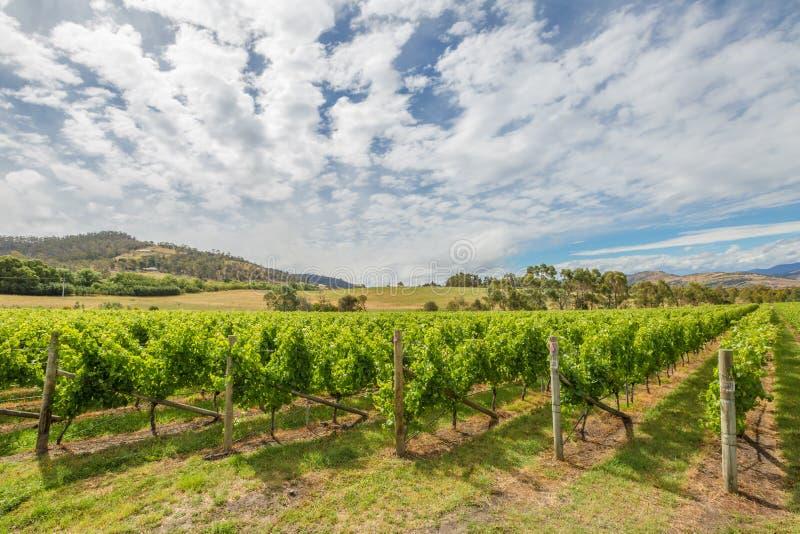 зеленый виноградник ландшафта стоковое фото