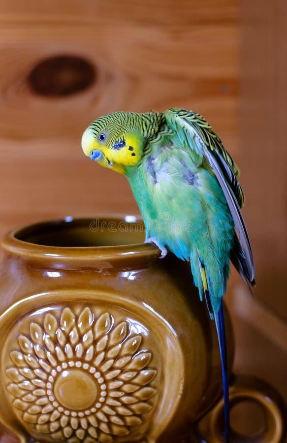 Зеленый волнистый попугайчик (отечественное budgie) на вазе стоковая фотография