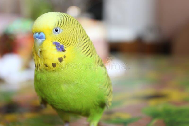 Зеленый волнистый попугайчик стоковое изображение rf