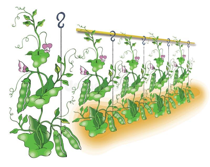Зеленый горох засаживая иллюстрацию бесплатная иллюстрация