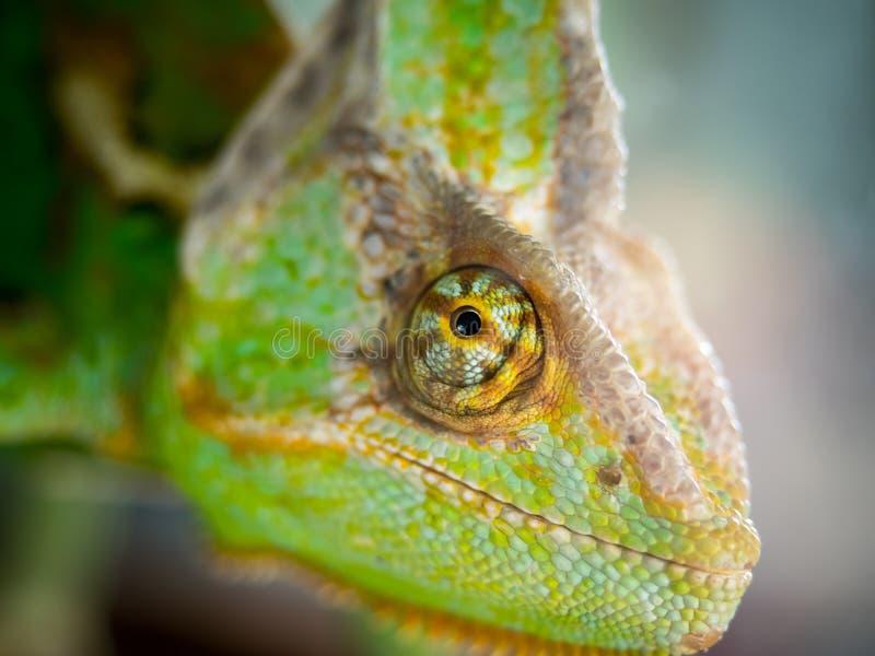 Зеленый глаз хамелеона стоковое фото