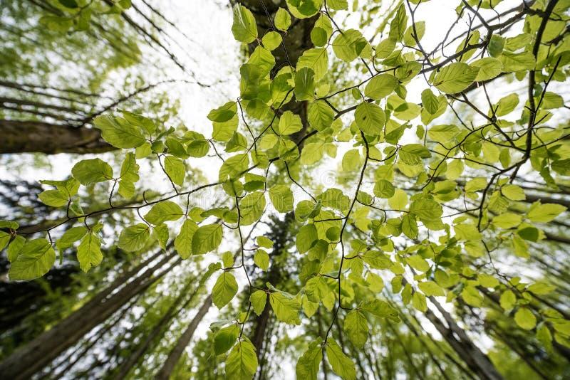Download Зеленый лес весны в лучах солнца Стоковое Фото - изображение насчитывающей утро, листво: 40580842