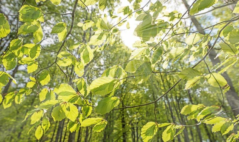 Download Зеленый лес весны в лучах солнца Стоковое Изображение - изображение насчитывающей green, линия: 40581011
