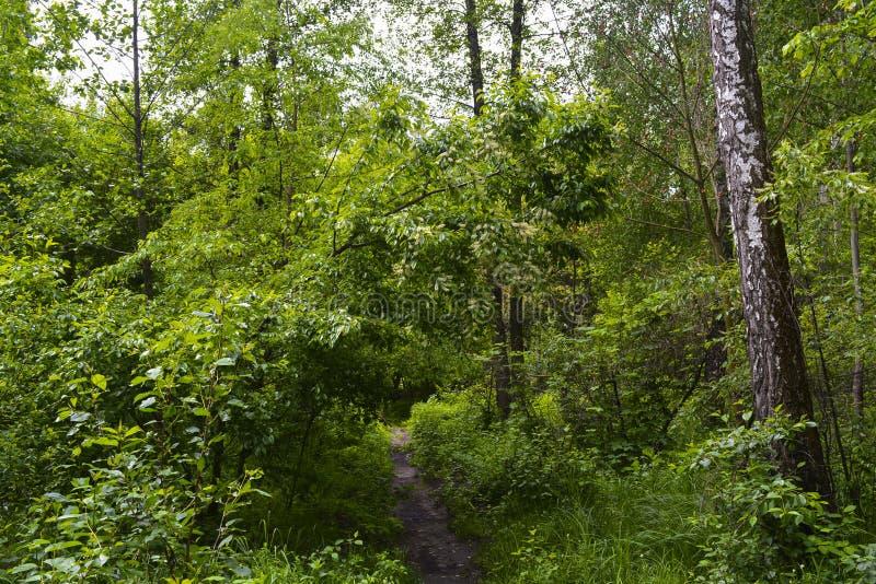 Зеленый лес весны в лучах солнца стоковые изображения rf
