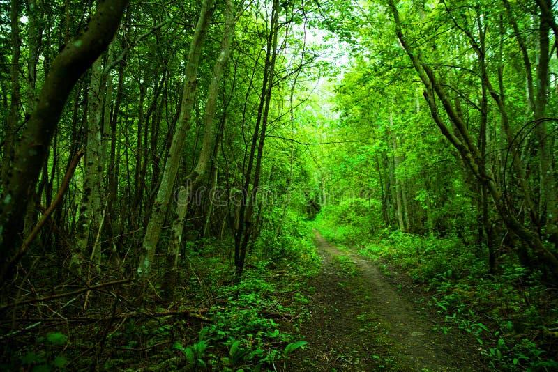 Зеленый лес с одичалым чесноком весной в Эстонии, Европе стоковое изображение