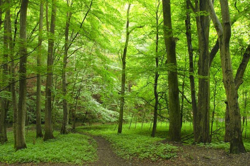 Зеленый лес стоковые изображения rf