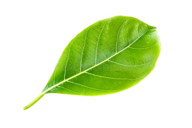 Зеленый джекфрут лист белизна изолированная веником стоковые фотографии rf