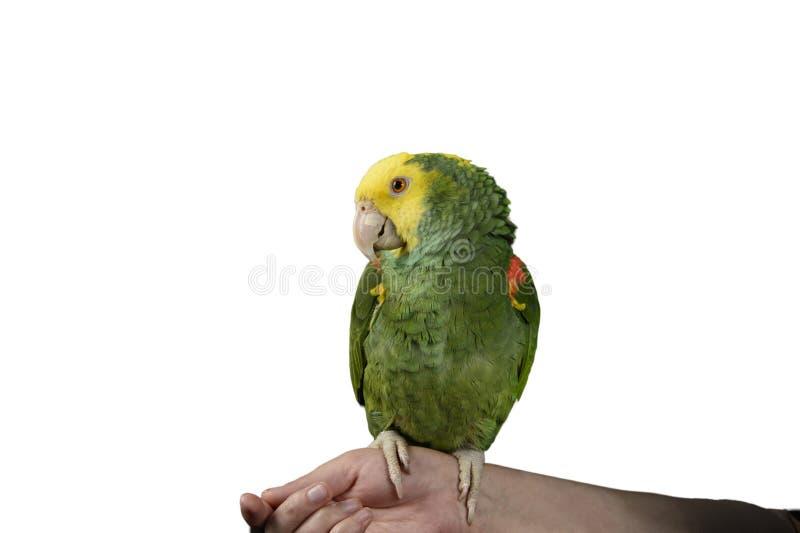 Зеленый желтый и красный попугай на белой предпосылке стоковые изображения rf