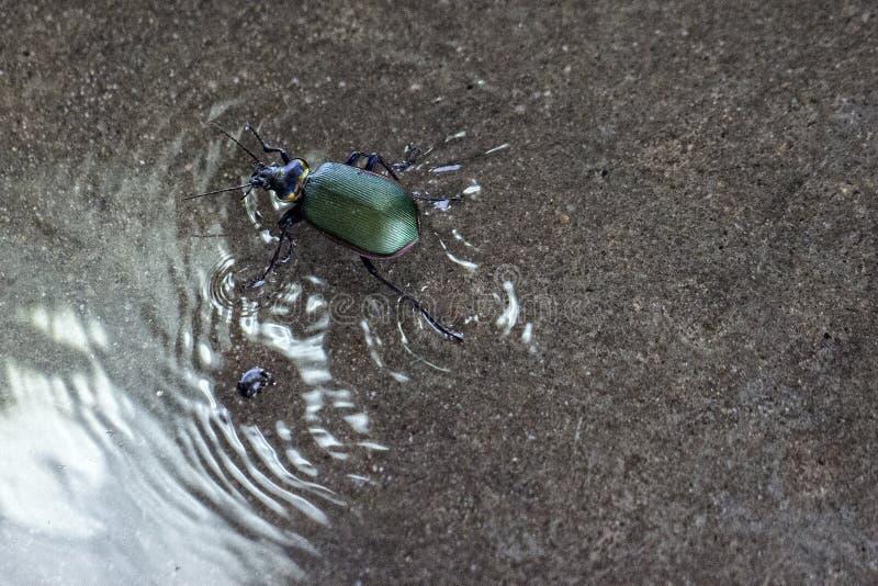 Зеленый жук идя на воду стоковое фото rf