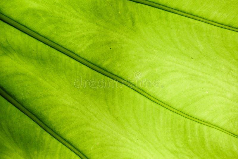 Зеленый завод лист уха слона стоковое фото