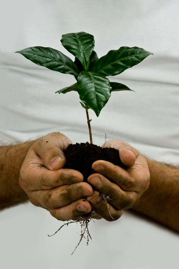 Зеленый завод кофе стоковая фотография rf