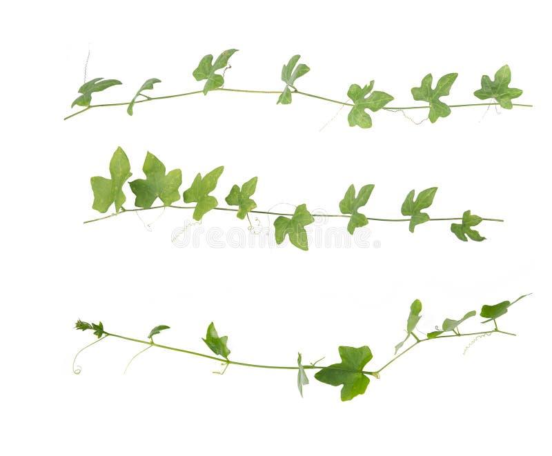 Зеленый изолированный плющ стоковое изображение