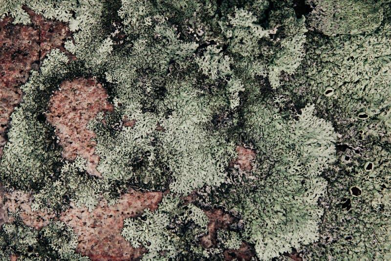 Зеленый лишайник на розовом камне гранита абстрактная предпосылка естественная стоковые фото