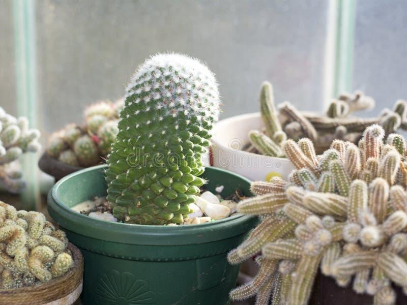 Зеленый кактус в цветочном горшке стоковые изображения