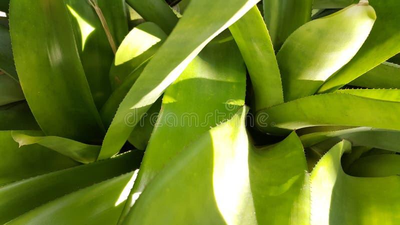 Зеленый конец-вверх bromeliad стоковые изображения