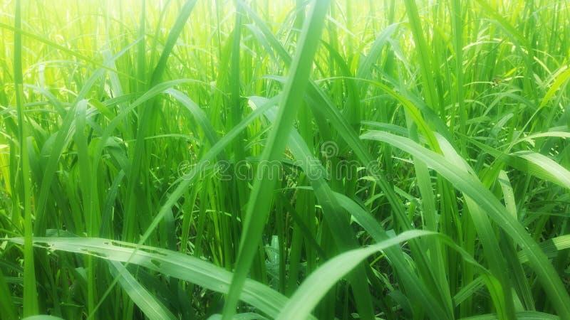 Зеленый конец поля риса вверх по предпосылке стоковые изображения rf
