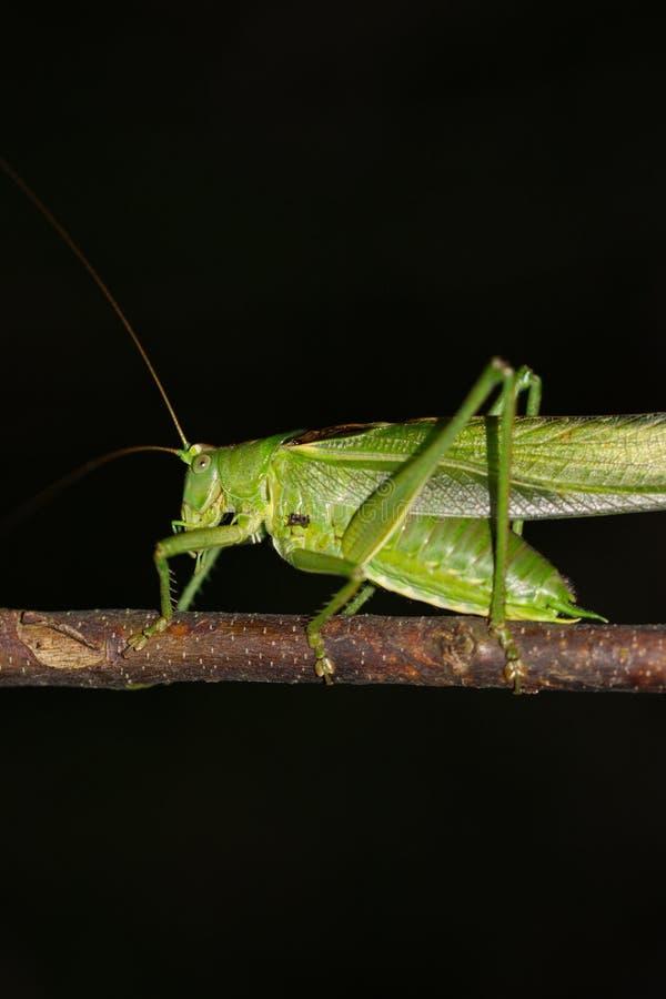 Зеленый кузнечик в макросе природы стоковая фотография rf