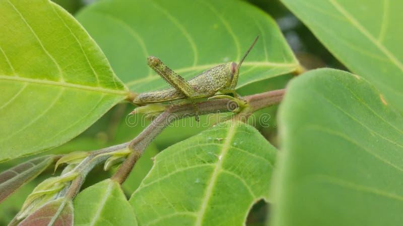 Зеленый кузнечик стоковая фотография