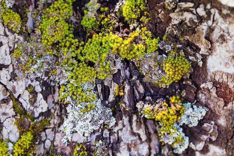 Зеленый мох на коре дерева стоковое фото