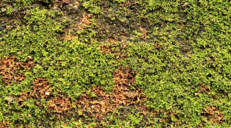 Зеленый мох на старой стене стоковая фотография