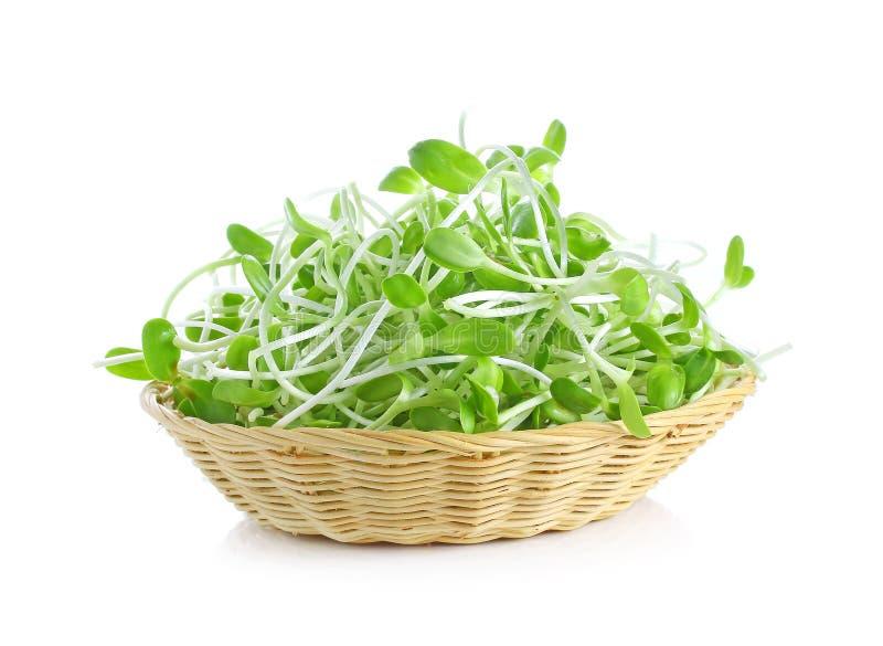 Зеленый молодой солнцецвет пускает ростии в корзине изолированной на белом ба стоковое изображение