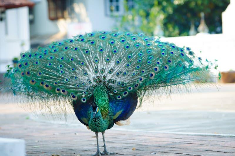 Зеленый павлин Таиланда стоковые изображения