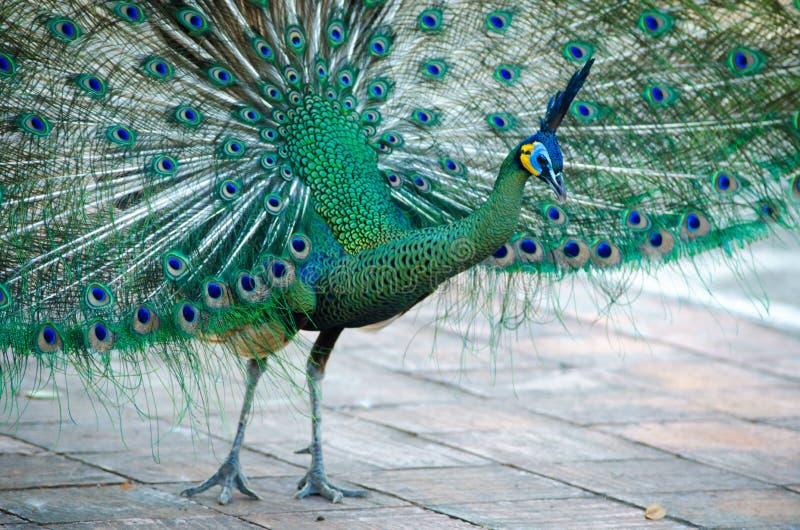 Зеленый павлин Таиланда стоковая фотография