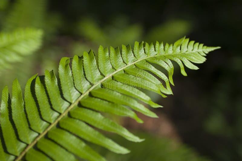 Зеленый папоротник лист на мягкой предпосылке папоротников с beamin солнечного света стоковое фото rf